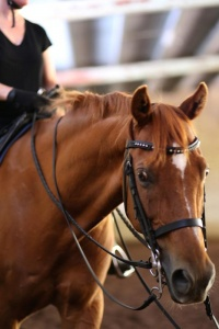 school-horse-cruze-during-a-lesson